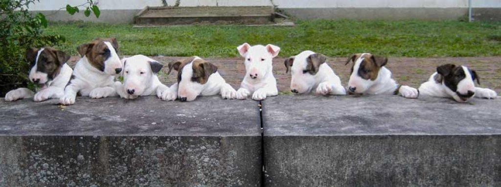 bull terrier assurance santé