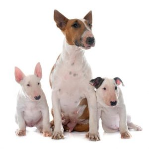 bull-terrier-santé-danger-info