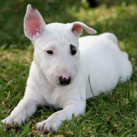 bull-terrier-santé