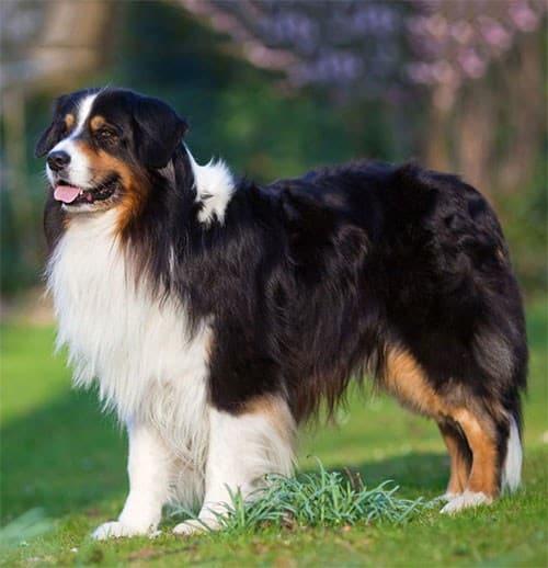 Berger Australien Race de chien